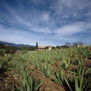 Santaverde_Finca_Aloe_vera plantage 2